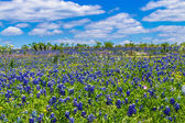 A Beautiful Wide Angle Shot of a Field with Fence Blanketed with the Famous Texas Bluebonnet Wildflowers — Stock Photo