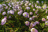 A Closeup of a Cluster of Texas Pink Evening or Showy Evening Primrose Wildflowers. — Stock Photo