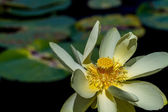 A Beautiful Yellow Lotus (also known as Nelumbo lutea, American Lotus, Water-chinquapin, or Volee) Flower with Large Lily Pads. — Stock Photo