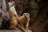 The Meerkat or Suricate Posing and Keeping Watch for Predators. — Stock Photo