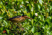 A Somewhat Rare Profile Shot of a Least Bittern (Ixobrychus exilis), a Smaller Water Wading Bird, or Heron. — Stock Photo