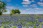 A Beautiful Wide Angle Shot of a Field Blanketed with the Famous Texas Bluebonnet Wildflowers — Stock Photo