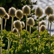 Thistle Wildflowers on Mount Rainier in August. — Stock Photo