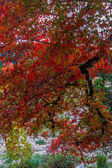 Brilliant Orange Fall Foliage on a Maple Tree in Texas. Fall or Autumn Background. — Stock Photo