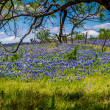 A Beautiful Wide Angle View of a Texas Field Blanketed with the Famous Texas Bluebonnets — Stock Photo #33710549