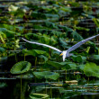 A Beautiful Wild Great White Egret in Flight — Stock Photo