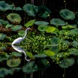 A Beautiful Great White Egret with Reflection — Stock Photo