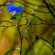 Stock Photo: Beautiful Blue Erect Dayflower