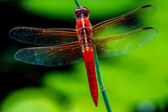 Striking Closeup Overhead View of Red Skimmer or Firecracker Dragonfly — Stock Photo