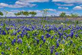 Ünlü texas bluebonnets ile blanketed bir Teksas alan güzel geniş açı bakış — Stok fotoğraf