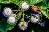 A Very Interesting Closeup of the Spiky Nectar-Laden Globes (Blooms) of a Wild Button Bush — Stock Photo