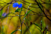 A Beautiful Blue Erect Dayflower — Stock Photo