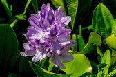 A Single Beautiful Purple Flowering Water Hyacinth — Stock Photo