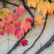 Stock Photo: Wall covered with red and yellow leaves of vine