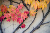 Wall covered with red and yellow leaves of a vine — Stock Photo