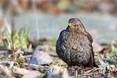 Female blackbird tuldus standing on the stone ground — Stock Photo