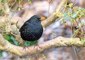 "Male blackbird ""tuldus merula""in the garden — Stock Photo"