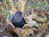 Мужской черный дрозд tuldus Мерула в саду — Стоковое фото