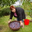 Woman with basket of plums — Stock Photo