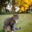 Gray cat watching her revier — Stock Photo