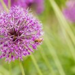 Stock Photo: Allium giganteum,Purple flower