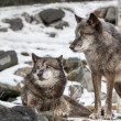 A Pair of Wolves in winter snow  — Stock Photo #41780229