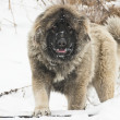 Caucasian sheepdog in winter time. — Stock Photo