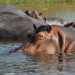 Hippos in The Victoria Nile. — Stock Photo