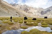 Grazing yaks in Ladakh, India. — Stock Photo