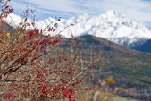 Barberry bush with snowy mountains in the background. — 图库照片
