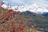 Kızamık bush ile arka planda karlı dağlar. — Stok fotoğraf