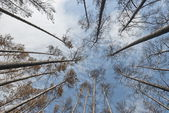Pine trees after a fire in Russia. — Stock Photo