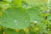 Rain drops on round leaves of nasturtium. — Stock Photo