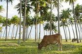 Grazing cow in a coconut grove in Mui Ne, Vietnam. — Stock Photo