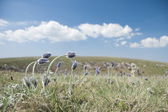 Blooming pasque flowers in the Crimean mountains. — Stock Photo