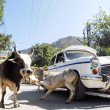 Car makes a road accident with stray cow in Rishikesh, India. — Stock Photo