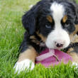 Bernese puppy plays with flip-flops. — 图库照片 #32690697