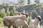 Rural landscape in Peru with sheep in the foreground. — Stock Photo
