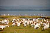 Pelicans at Lake Nakuru National Reserve, Kenya. — Stock Photo