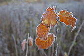 Wilted frosted leaves. — Stock Photo