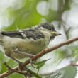 Great tit bird chick on a branch. — Stock Photo #40454613