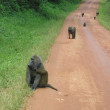 Baboons on a road in The Murchison Fall N. P., Uganda. — Stock Photo