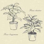 Ficus — Stock Vector