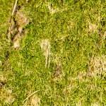 Moss — Stock Photo #32616759