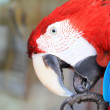 Red scarlet macaw in zoo — Stock Photo #30838207