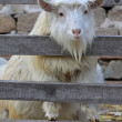 Stock Photo: Goats in rural areas
