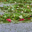 Lotus in full bloom in the water in a park — Stock Photo