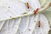 Mrówki merceryzowane las i mszyca — Stok fotoğraf