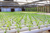 Celery cultivation in a plantation, China — Stock Photo