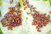 Stinkbug insects in the wild — Stock Photo